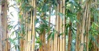 Bibit Kurma Kuning Benih Tanaman Pohon Kurma Kuning Bibit Buah Kurma bambu panda bambu jepang bambu tali bambu kuning
