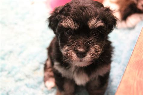 havanese puppies ta black and havanese puppies pictures to pin on pinsdaddy