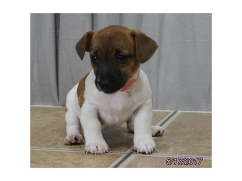 petland ohio puppies terrier petland carriage place