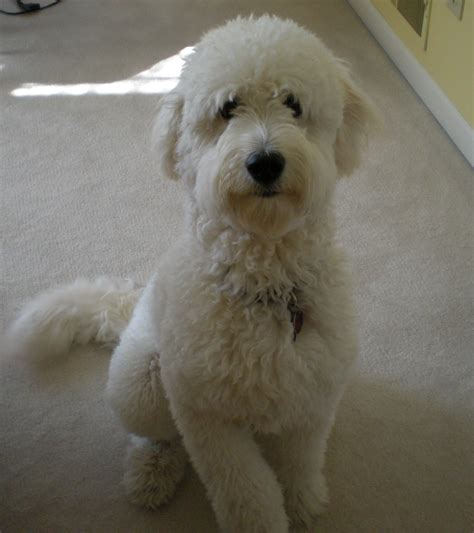 poodle breed poodle cross breeds www imgkid the image kid has it