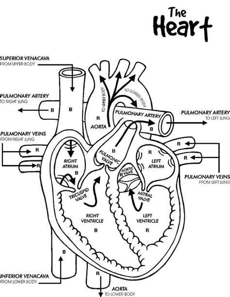 pin human heart coloring pictures on pinterest
