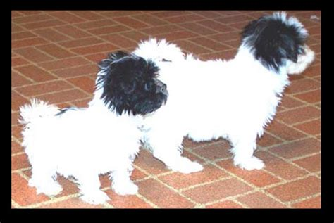 havanese mini havanese havanese puppies for sale mini havanese for sale teenie tiny purse size