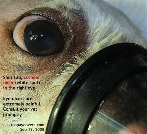 shih tzu eye ulcer shih tzu has an eye injury corneal ulceration breeds picture