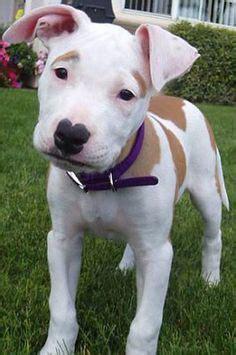american bulldog boxer mix puppies bulloxer american bulldog boxer mix info puppies and pictures