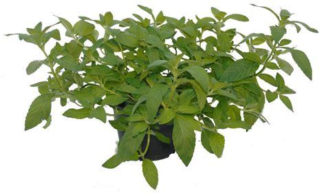 pianta di banana in vaso pianta di menta banana vendita azienda il rosmarino