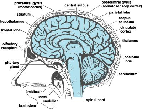 human brain longitudinal section top photos in head anatomy