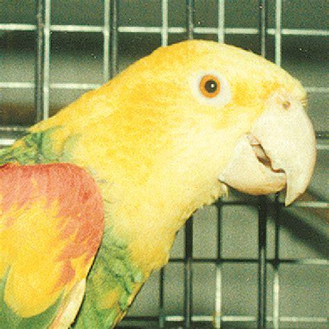 amazzone testa gialla amazona oratrix pappagalli e non