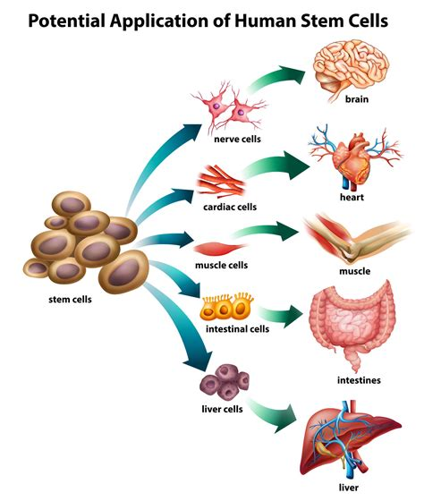 stem cells stem cells and high blood pressure