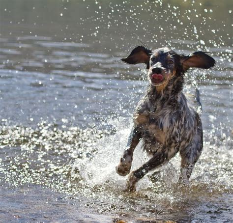 english setter bird dog kennels 55 best images about english setter on pinterest the