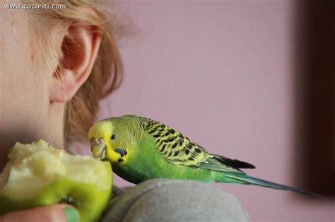 pappagallini ondulati alimentazione mangiamo la mela cocorite e pappagallini ondulati