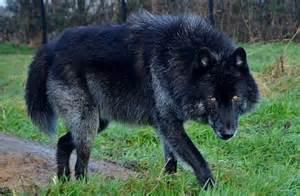 belgian sheepdog pictures american european wolfdog chien loup am 233 ricains et