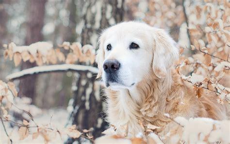 winter dogs winter dogs wallpaper