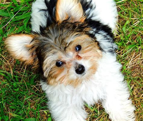 what is my yorkie mixed with gertie the yorkie mix puppies daily puppy
