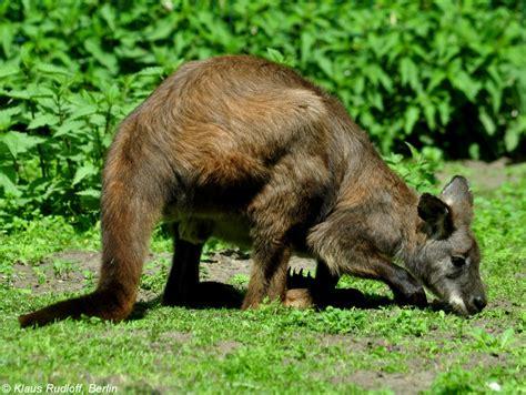 zoologischer garten berlin erdmännchen wallabys berg und riesenk 228 ngurus macropus fotos tier