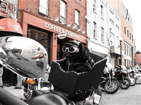 pug motorcycle pug pictures owned by pugs
