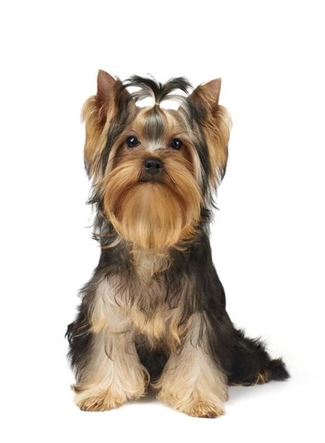 living yorkie how to if a yorkie is the right for you care the daily puppy