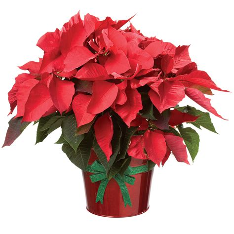 How To Decorate Christmas Tree At Home by December Flower Poinsettias Dfw Flowers