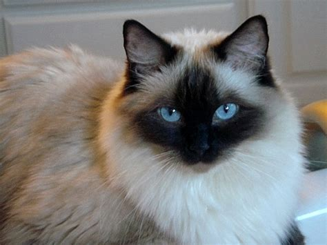 ragdoll cat ragdoll cat pictures and images