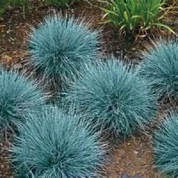 100 blue fescue fesnea glauca ornamental grass seeds ebay