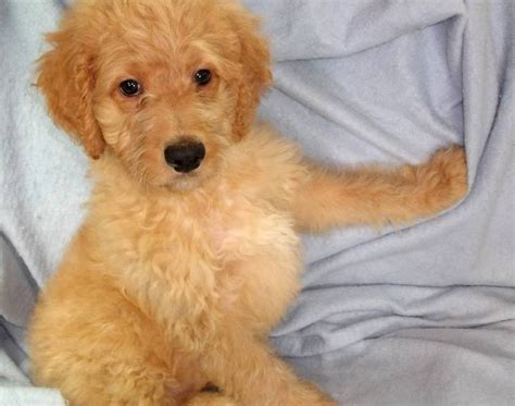 goldendoodle puppy problems goldendoodles for sale how to select a petsitter