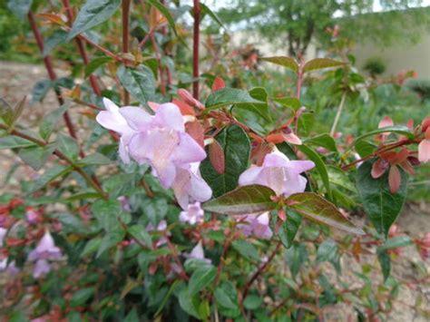 grand pot de fleur 1717 abelia grandiflora pink pong 174 abenov41 arbustes