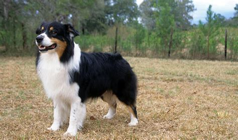 Do Australian Sheep Dogs Shed by Australian Shepherd Breed Information