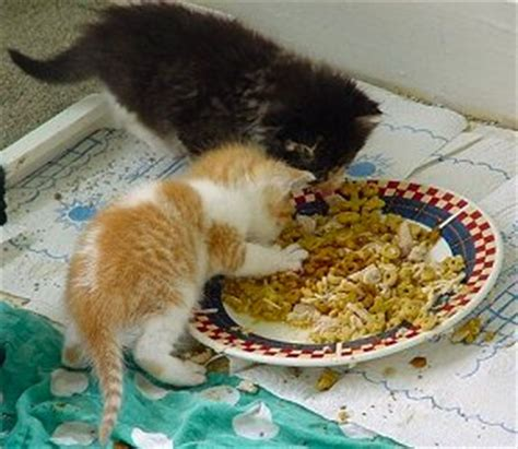 when do puppies start solid food how to raise a baby kitten