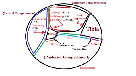 cross section leg khaled elmasry anatomy blog