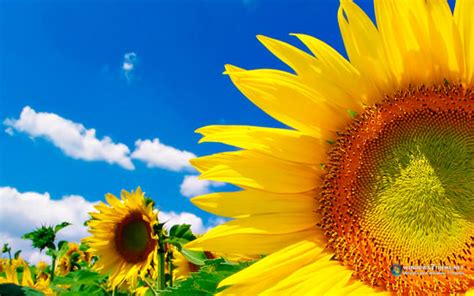 descargar fondos de escritorio windows 7 descarga el fondo de escritorio girasoles para windows 7