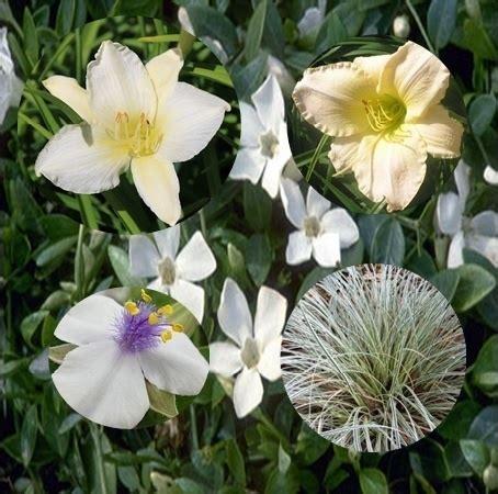 witte border bloemen witte border een mooie eenjarige voor de border