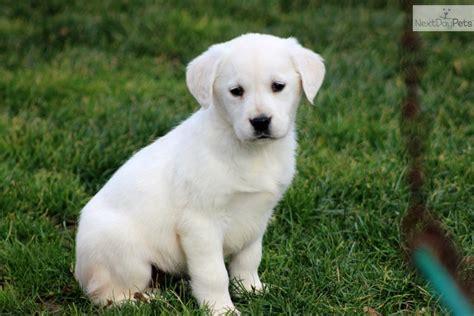 goldador puppies for sale golden labrador goldador puppy for sale near lancaster pennsylvania