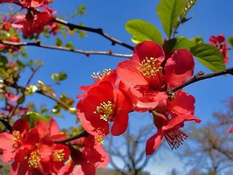 cotogno da fiore il melo cotogno frutteto coltivare il melo cotogno