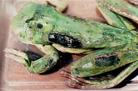 Frog Shedding Or Fungus by Fdr Inc The Australian Diseases General Bacterial And