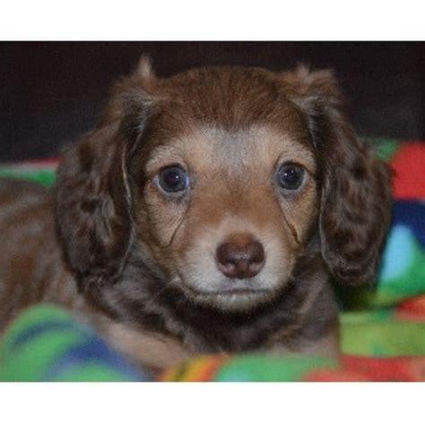dachshund puppies california s mini doxies dachshund breeder in menifee california listing id 22406