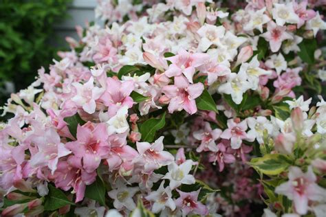 Garden Flowering Shrubs Flowering Shrubs Donna S Garden