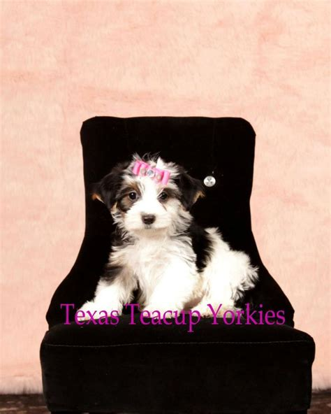 teacup yorkies for sale in tx 1000 images about tiny yorkie puppies for sale on yorkie puppies for