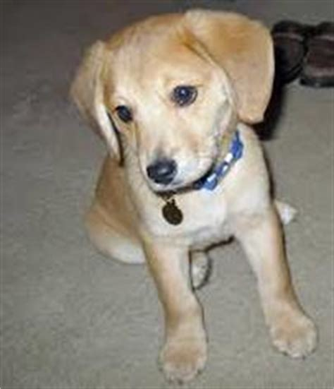 golden retriever beagle mix puppies beago golden retriever beagle mix info puppies pictures