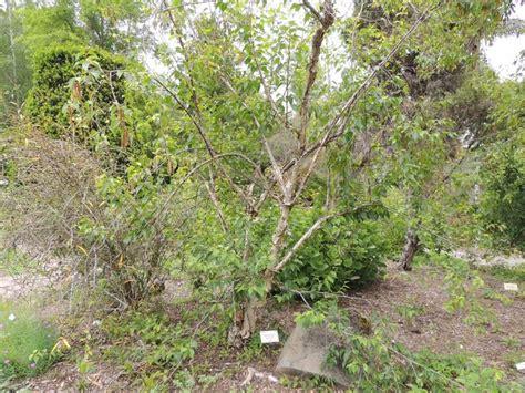 Botanical Gardens Northern California Plantfiles Pictures Himalayan Birch Betula Utilis By Palmbob