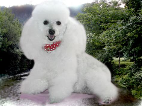 puppy in the poodle characteristics temperament grooming and pictures inspirationseek