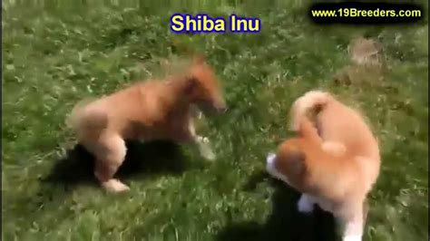 puppies for sale in cedar rapids iowa shiba inu puppies for sale in cedar rapids iowa ia west des moines ames