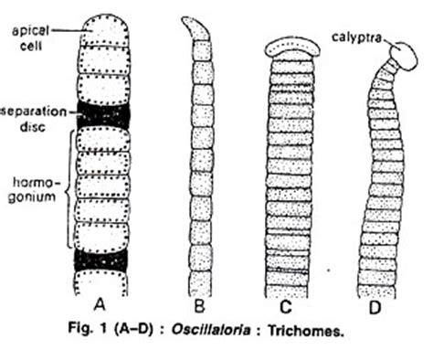 oscillatoria diagram oscillatoria occurrence thallus structure and reproduction
