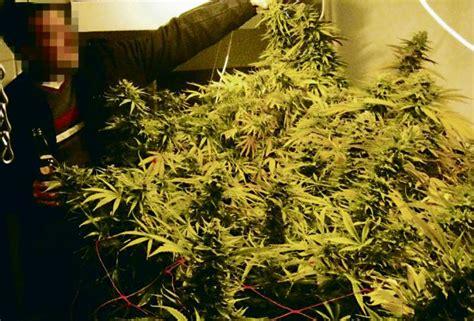 le culture indoor la majorit 233 du cannabis pousse en appartement ghi