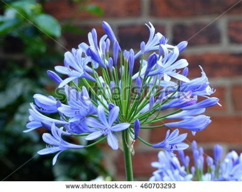 agapanthus lily only genus subfamily agapanthoideae stock photo 460703320 shutterstock