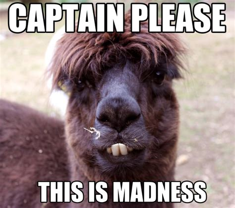 Alpaca Memes - alpaca memes www imgkid com the image kid has it