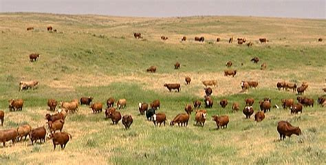 american cattle holy cow quot green quot beef catches on nature pbs