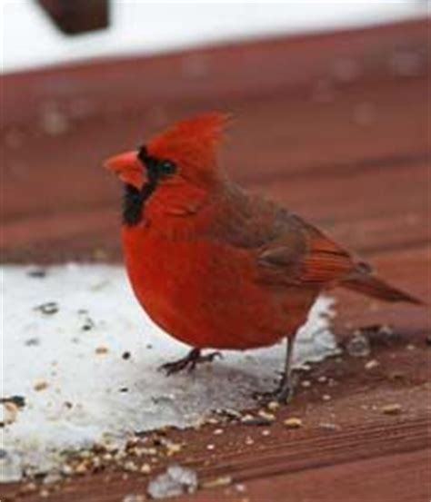 animals canadian birds on pinterest cardinals