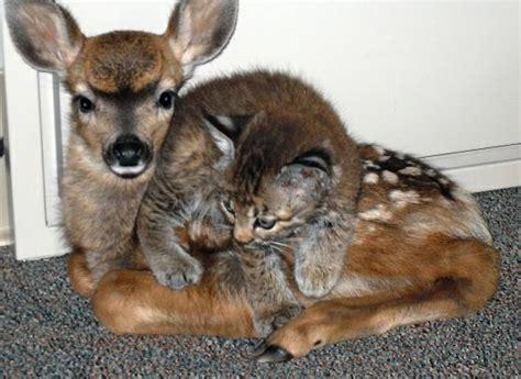 fawn and bobcat kitten snopes com