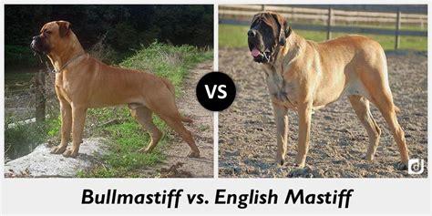 bullmastiff colors difference between bullmastiff and mastiff