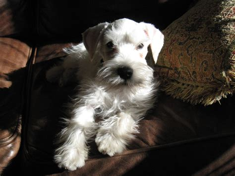 miniature schnauzer puppies craigslist miniature doberman pinscher cross schnauzer puppies pictures miniature doberman
