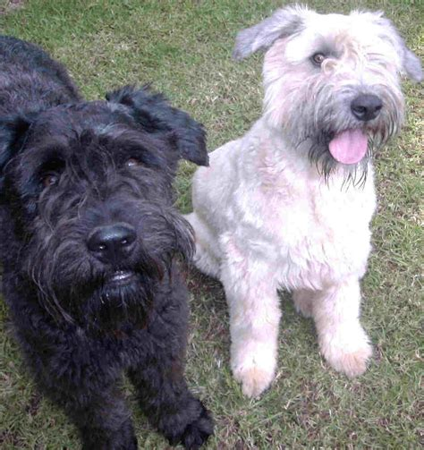 bouvier dogs bouvier des flandres dogs photo and wallpaper beautiful bouvier des